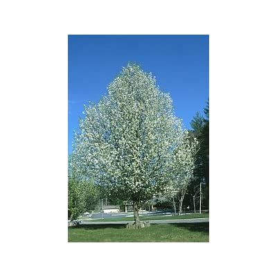 Aristocrat Flowering Pear Tree -4-5' : Garden & Outdoor
