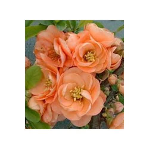 """SeedsBulbsPlants&More Flowering Quince, Chanomeles Superba Cameo Double Peach Flowering, 6-10"""" Tall Potted Plant"""