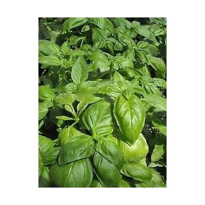250 Seeds Basil Envigor : Garden & Outdoor