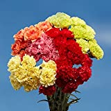 GlobalRose 100 Color Carnations - Fresh Flowers For Birthdays, Weddings or Anniversary.