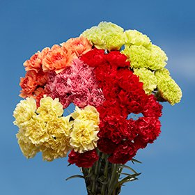 Review GlobalRose 200 Color Carnations