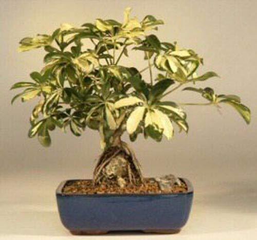 Lushgreen Outdoor Live Plant Bonsai Suitable Dwarf Umbrella Tree Schefflera Arboricola Plant 1 Healthy Live Plant Amazon In Garden Outdoors