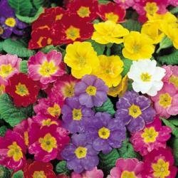 Polyanthus  Pacific Giant Blended Mixture  10 Seeds