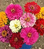 Zinnia Elegans California Giants Bulk Seed - 1 pound