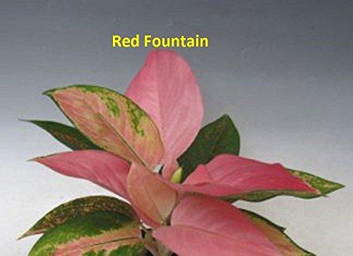 Aglaonema - RED Fountain - 1 Live Plant - 4'' Pot