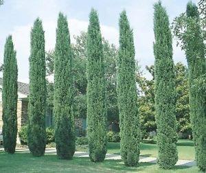 Italian Cypress Tree - 8