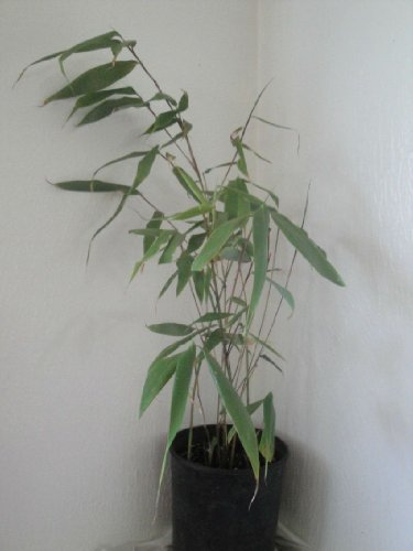Box of 5 Fargesia Robusta 'Wolong' Clumping Bamboo, #1 Size Live Plant by Maya Gardens, Inc. (Image #4)