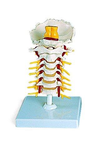 頚椎モデル B007NCUCNI