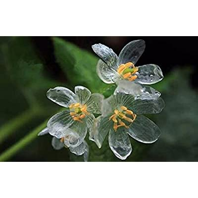 Solution Seeds Farm Heirloom Transparent Flower Seeds Delicate DIY Garden Flower The Petals Turn Transparent with The rain Amazing, 200 Seeds : Garden & Outdoor