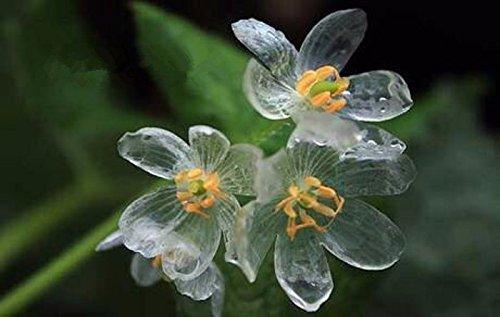 (Solution Seeds Farm Heirloom Skeleton Flowers Seeds 200 Seeds Astilboides tabularis Bonsai Rare Exotic. )