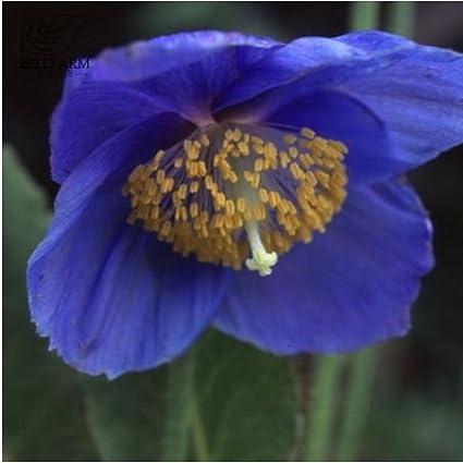 Amazon new corn poppy blue sky blue purple perennial flowers new corn poppy blue sky blue purple perennial flowers bonsai seeds 100 seeds mightylinksfo