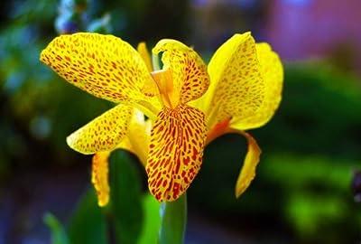 7 Seeds Germanica Bearded Irises German Yellow Garden Flower