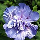 50 PURPLE DOUBLE ROSE OF SHARON HIBISCUS Syriacus Flower Tree Bush Shrub Seeds Mix *Comb S/H