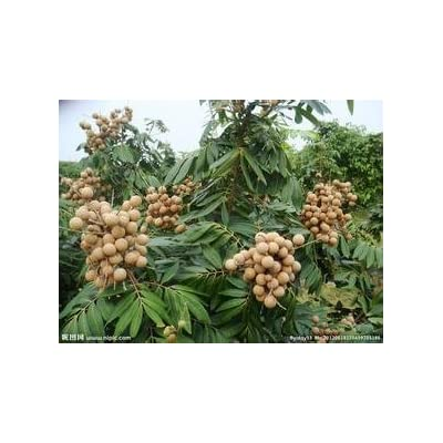 New Rare10 Live DRAGON39;S EYE Exotic LONGAN Dimocarpus Sweet Tropical FRUIT Tree seeds : Garden & Outdoor