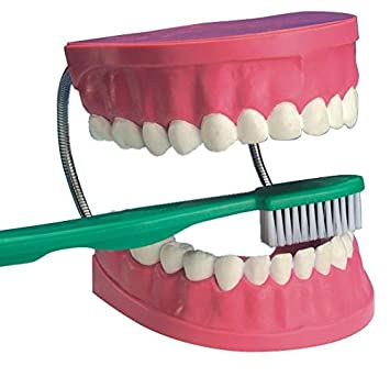 Edu Science 03089 - Modelo gigante de cuidado dental: Amazon.es: Juguetes y juegos