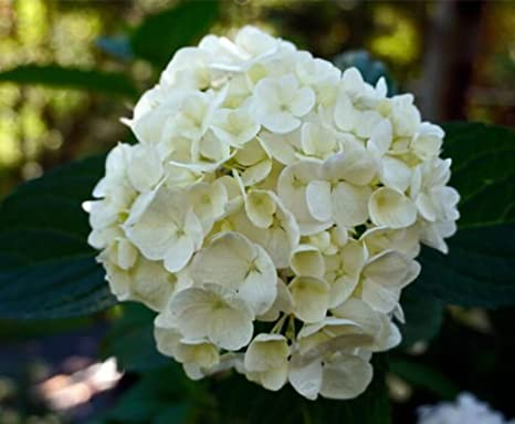 Amazon Details About Pure White Hydrangea Bridal Bouquet