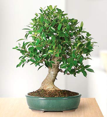 1 Indoor Ficus Bonsai Large Golden Gate 10 Years Old Live Plant - Houseplants Gift