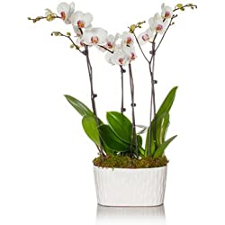 From You Flowers - Potted Quadrupple Stem White Orchid Planter for Valentine's Day
