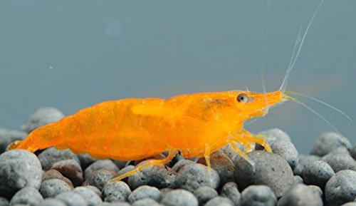 Aquatic Arts 1 Live Orange Sakura Shrimp (Neocaridina davidi) - Breeding Age Young Adults at 1/2 to 1 Inch Long