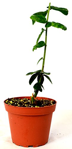 (9GreenBox - Arabian Jasmine Plant - Grand Duke of Tuscany - Fragrant - 4