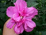 50 DARK PINK DOUBLE ROSE OF SHARON HIBISCUS Syriacus Flower Tree Bush Shrub Seeds Mix *Comb S/H