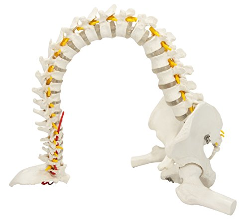 Axis Scientific Ultra Flexible Vertebral Column with Removable Femur Heads, Includes Metal Stand and a 3 Year Warranty (Spine Removable)
