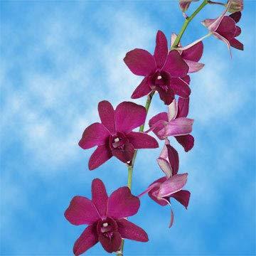GlobalRose 80 Siam Ruby Dendrobium Orchids- Burgundy Fresh Flowers For Birthdays, Weddings or Anniversary