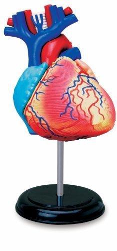Learn about Human Anatomy - Heart Anatomy Model (Age (4d Anatomy Eyeball Model)