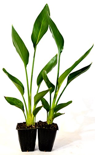 9GreenBox - Orange Bird of Paradise - 2 Pack (Patio Plants Africa South)