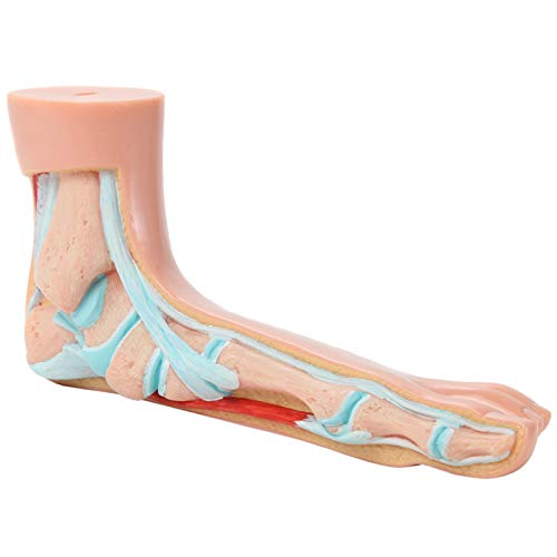 Foot Model Shows The Common Foot Conditions Flat Foot Axis Scientific Anatomy Model of Human Foot Podiatry Model is a Set of 3 Human Feet Comes with 3 Year Warranty Normal Foot and a High Arch