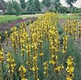 Asphodeline - Yellow Candle - 20 Seeds
