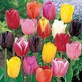 """100 Bulbi di tulipani """"In Mix""""- Bulbi da fiore - SPEDIZIONE GRATUITA"""