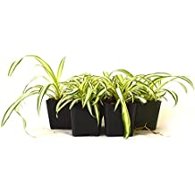 9Greenbox Easy to Grow Ocean Spider Plant, 4 Pound (Pack of 6)