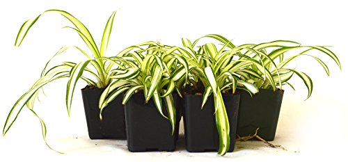 9Greenbox Easy to Grow Ocean Spider Plant, 4 Pound (Pack of 6) Live Plant Ornament Decor for Home, Kitchen, Office, Table, Desk - Attracts Zen, Luck, Good Fortune - Non-GMO, Grown in the USA