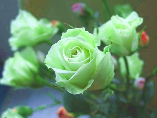 Seeds - 20+ Pale Green Midnite Rose Bush Seeds USA Seller Ships Free - TricaStore