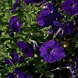 Outsidepride Petunia Alderman - 5000 Seeds
