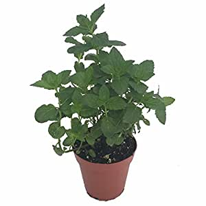"""'Kentucky Colonel' Spearmint - Indoors/Out - 3"""" Pot -Great in Mint Juleps"""