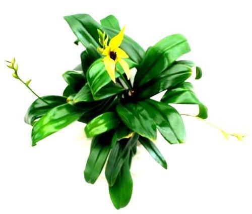 1 blühfähige Orchidee der Sorte: Bulbophyllum carnuculatum, 13cm Topf