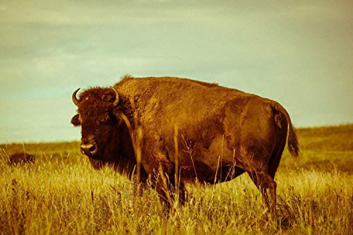 Buffalo Photography Art Print - Vintage Style Picture of Bison on Oklahoma Prairie Animal Home Decor 5x7 to 30x45 by Southern Plains Photography