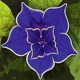 Outsidepride Morning Glory Blue Picotee - 50 Seeds