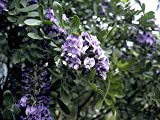 Texas Mountain Laurel Tree Seedlings, Fragrant Purple Blooms
