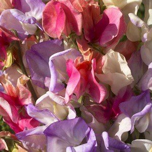 Annual Incense Mix Sweet Pea Certified 25 Seeds #005 Item UPC#636134972809