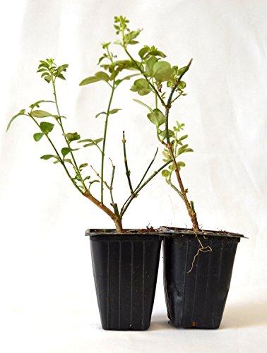 9GreenBox - Chinese Jasmine - 2 (Climbing Jasmine Plant)
