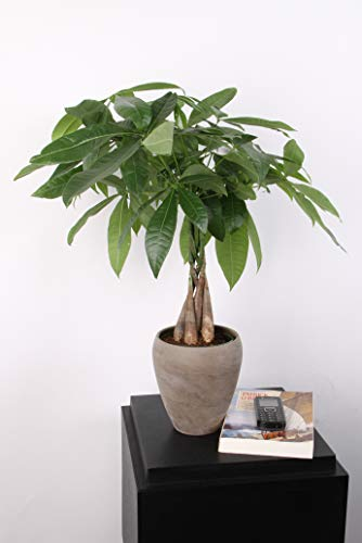 Costa Farms Money Tree, Pachira, Medium, Ships in Premium Ceramic Planter, 16-Inches Tall by Costa Farms (Image #4)