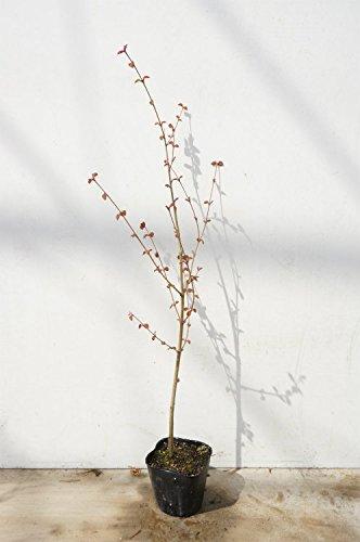 【40本セット】 カツラ 樹高0.5m前後 10.5cmポット かつら 苗木 植木 苗 庭木 生け垣 B01N1343ZD