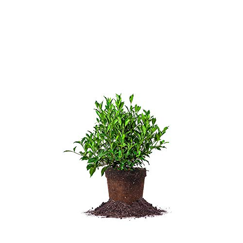 Perfect Plants August Beauty Gardenia Live Plant, 1 Gallon, Includes Care Guide