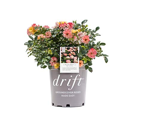Star Roses Drift Series 19679 Peach Drift Rose