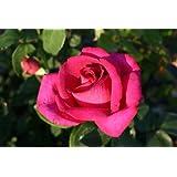 Parole® - Container Rose im 4 ltr. Topf