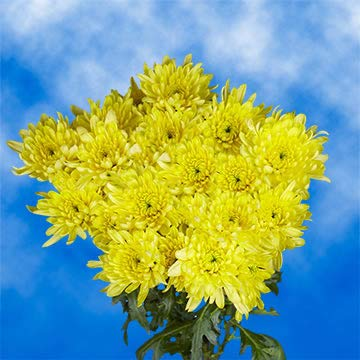 GlobalRose 72 Fresh Cut Yellow Chrysanthemum Cushion Flowers - Fresh Flowers For Birthdays, Weddings or Anniversary. by GlobalRose