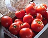 Tomato Mountain Merit 100 seeds